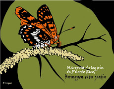 La mariposa arlequn: en peligro de extincin