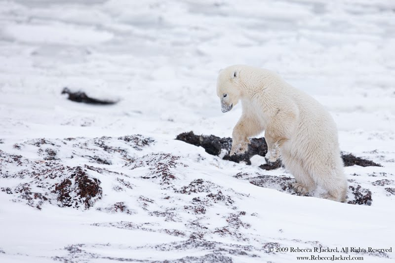 Polar Bears Diet Polar Bears Eating Caribou