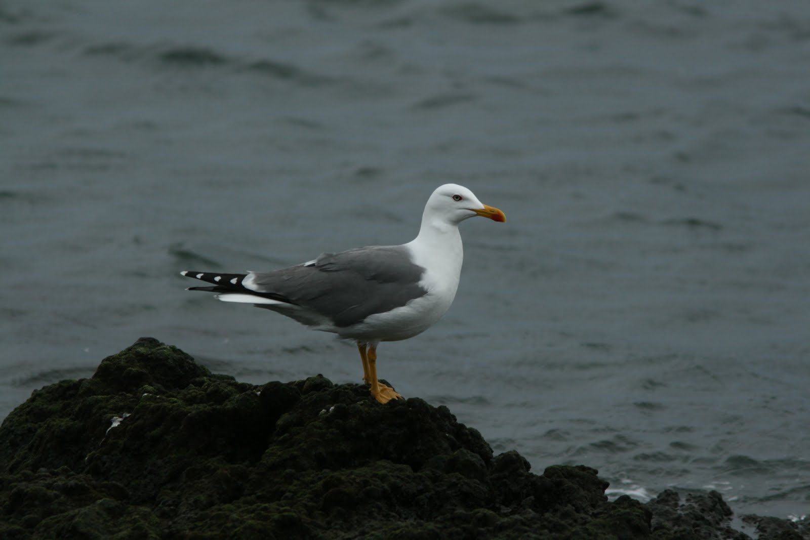 Simply matchless Adult sea gull