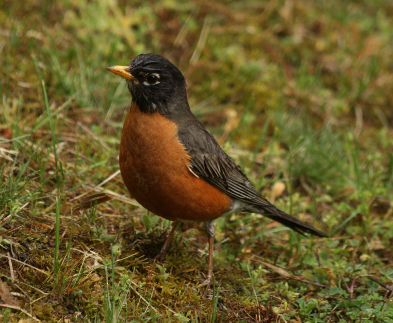 What Food Do Robins Like To Eat