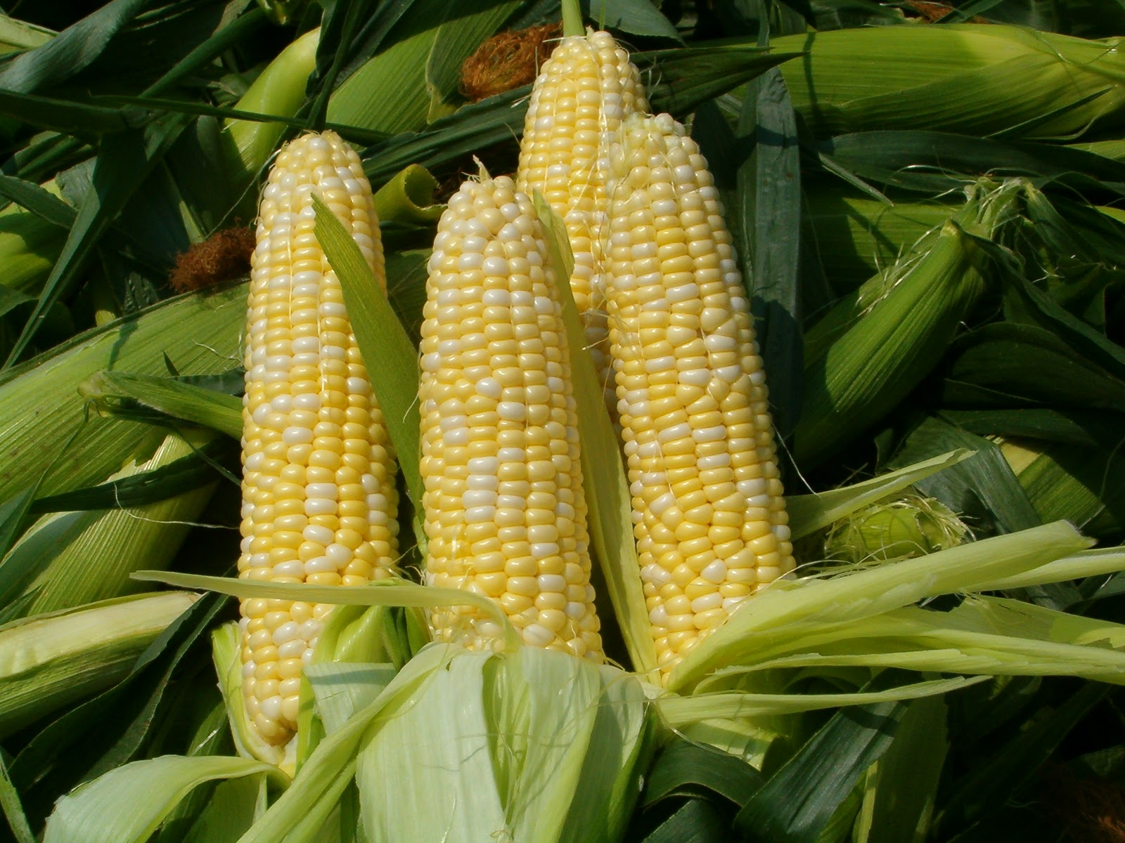 Corn Stock Photos, Images, & Pictures - 253,339 Images