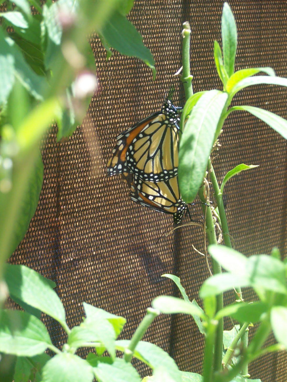 Help Save Monarch Butterflies: June 2010