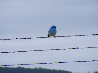 Blue bird at Custer State Park