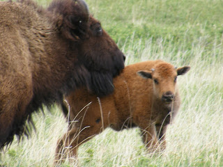 Buffalo and Baby at Custer State Park