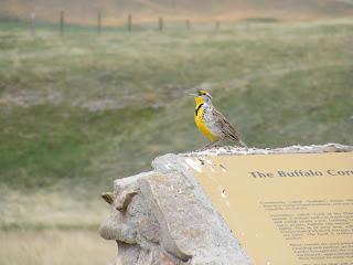 Meadowlark singing at Custer State Park