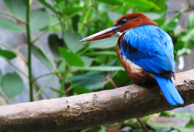 white-throated kingfisher; click for previous post