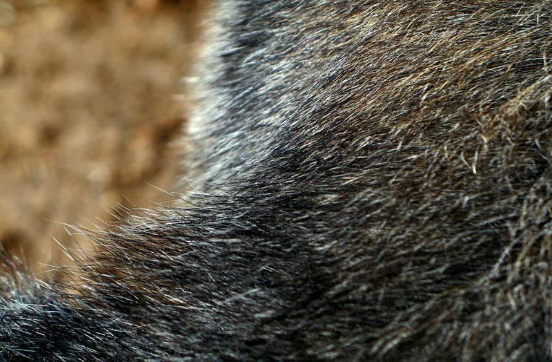 gorilla fur; click for previous post