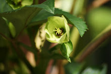honeyhill joy hellebore