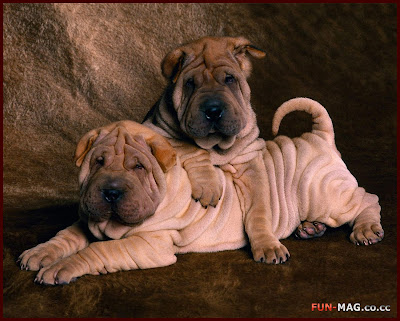 Shar Pei Puppies - Desktop Picture