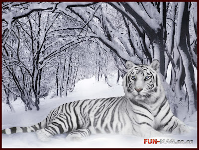 White Tiger (Panthera Tigris) - Animals Wallpaper