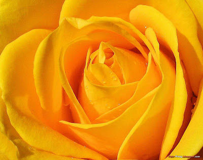 free flowers wallpapers. wallpaper rose flower.