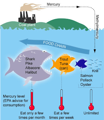 Tuna consumption mercury ecomerge for How does mercury get into fish