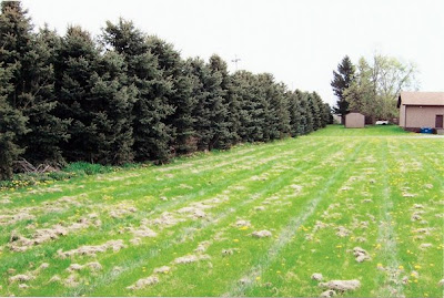 Row of trees before clear-cutting