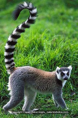 Animal Shmanimal: Ring Tailed Lemar