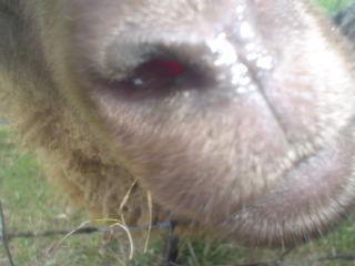 [sheep+150.JPE]