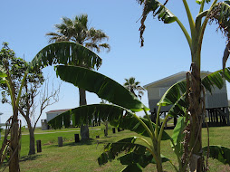 Henley banana trees planted in 2007