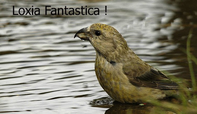 Loxia Fantastica