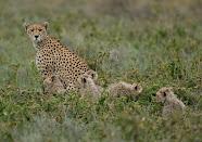 Hi, I am the fastest land animal .......
