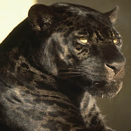 I am the Black Leopard ( Panther) also known as puma ...