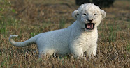 white lion cubs were first sighted in 1975 at Timbavati Game Reserve.