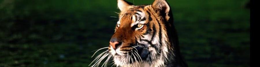 tiger.bigcats.in