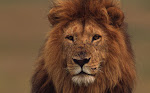 Adopt a Lion with WWF