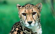 Adopt a Cheetah with WWF