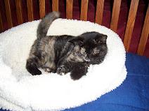 Castleray Germane as a Kitten