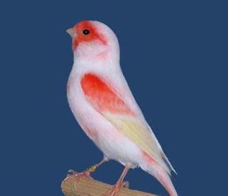alam semesta: Burung Kenari