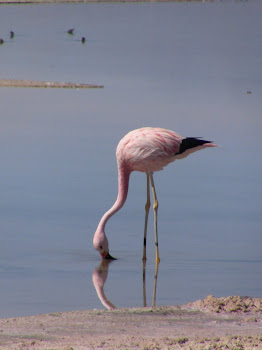 flamant rose chilien
