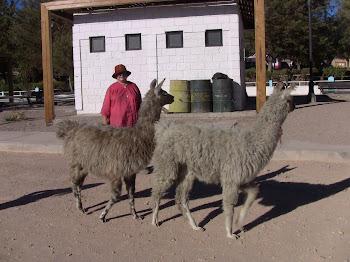 ces deux lamas, j'en ferais bien un essai culinaire!