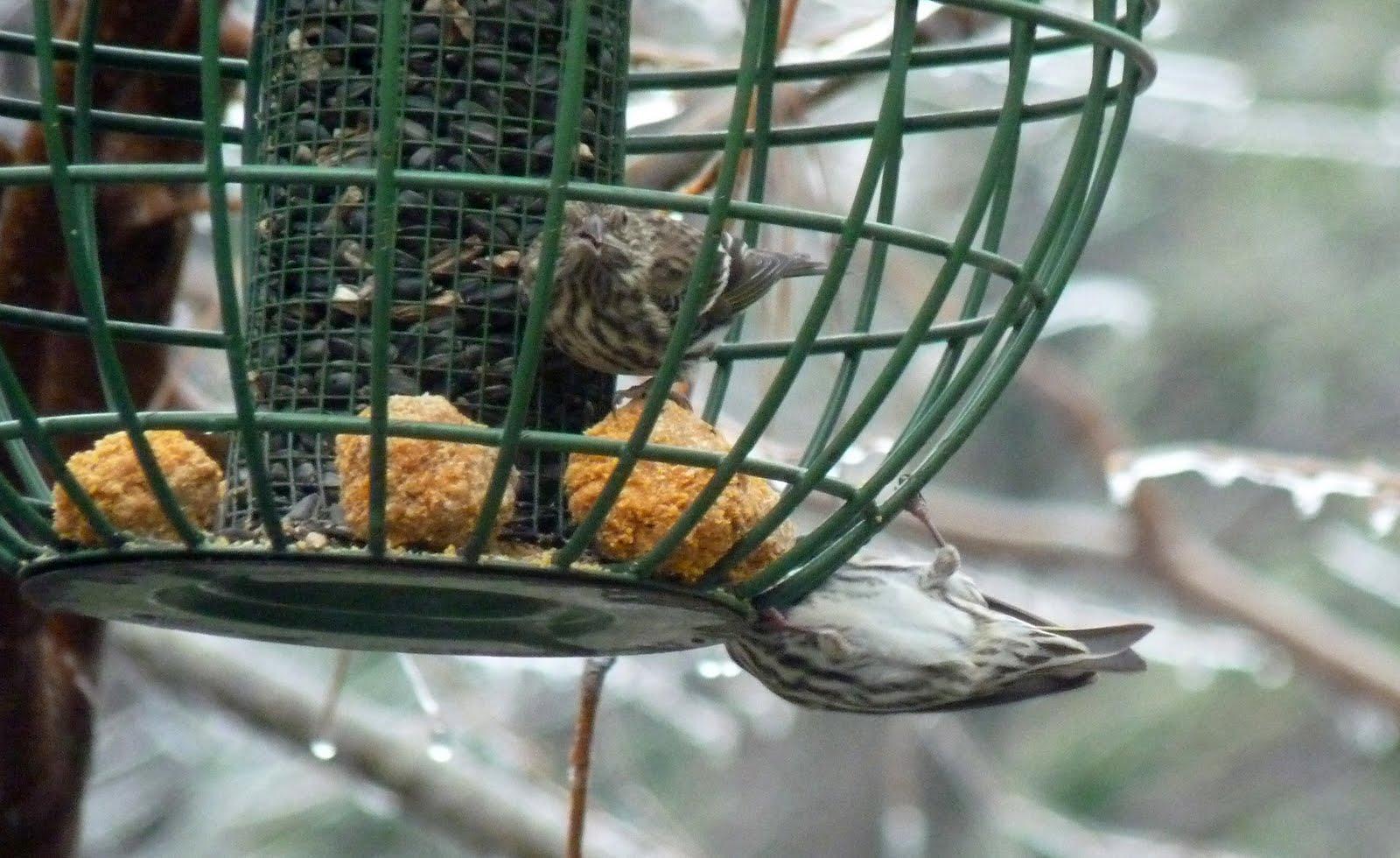 birds on the brain yard bird 76 is life bird 1444