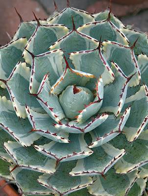 Danger garden agave propagation by drilling