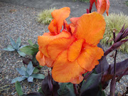 The Cannas in the front garden are even in the Halloween spirit, .