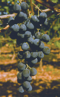 Alphonse Lavallée : Variétés de raisin de table.