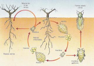 la filoxera de la vid