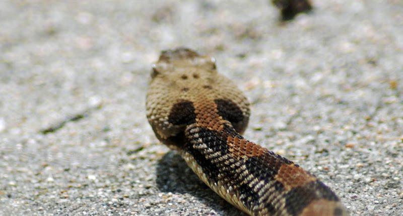 rattlesnake+head_edited-1.jpg