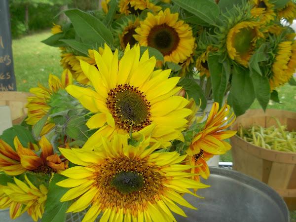 Rebecca's Sun Flowers