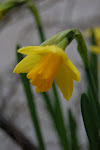 mid-March daffodils