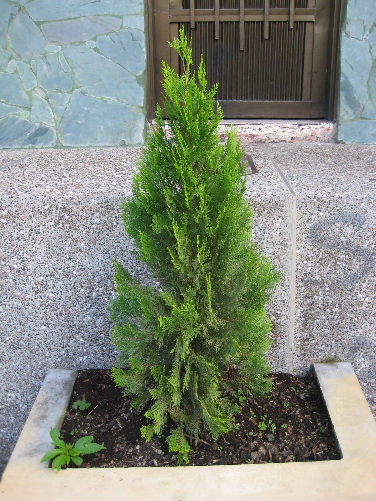proyecto de plantas ornamentales pino