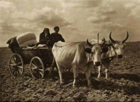 Taranul rogovean si carul cu boi in sec XIX