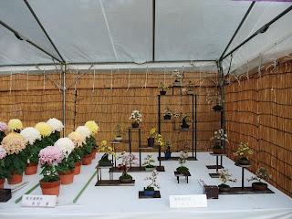 大阪城の菊花展の菊盆栽