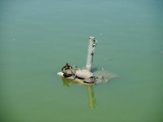 万代池の亀
