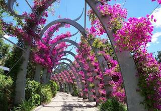 Piante creare giardini cura dei fiori consigli for Bouganville in vaso