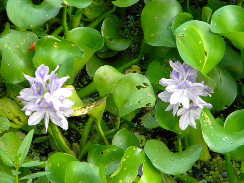 Apleasant surprise s kodak moments at lettuce lake park for Best aquatic plants
