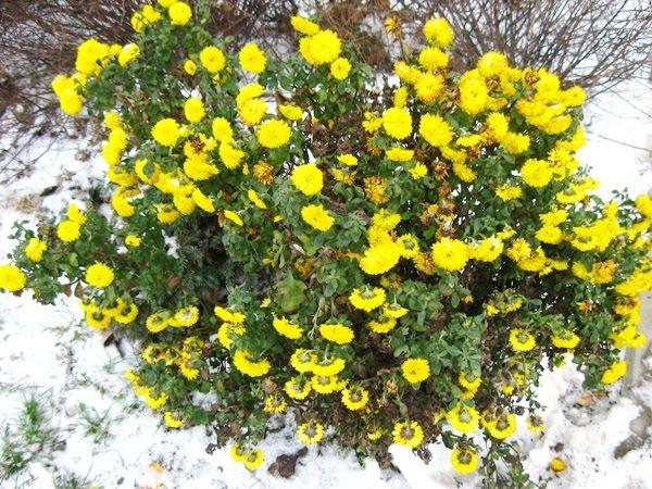 Ewa in the Garden Mums that still blossom in winter 15C