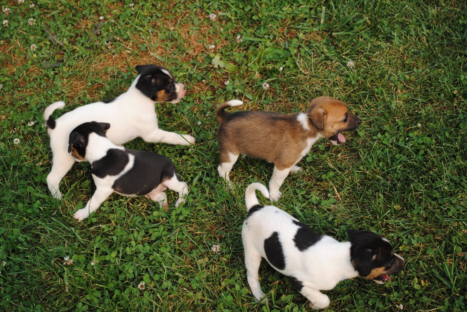 Mountain Feist Puppies for Sale