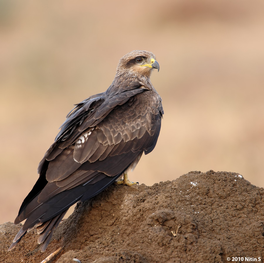 Indian kite bird - photo#3