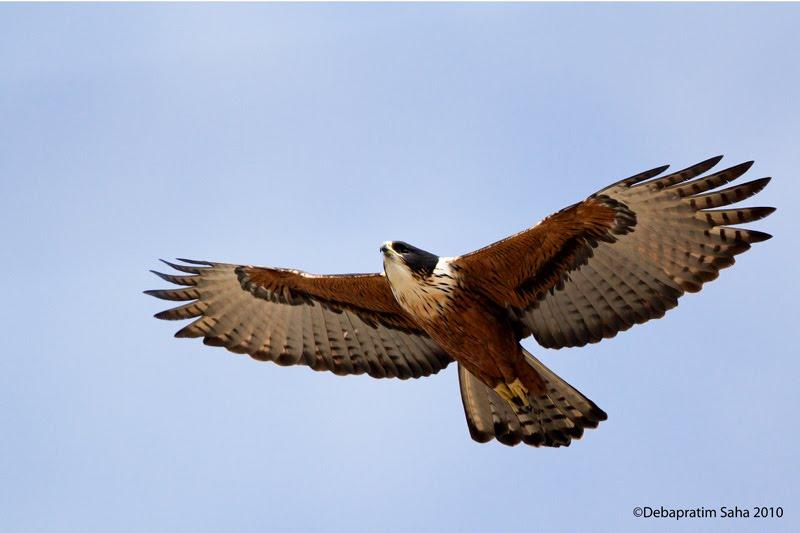 เหยี่ยวท้องแดง  Rufous-bellied Eagle  _MG_0737+copy1-729014