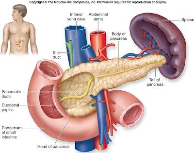 C.T.A 4º: Páncreas